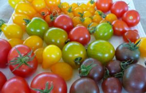 Tomates de toutes tailles et couleurs