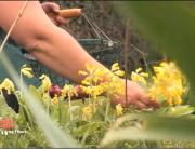 Apprendre à connaître les fleurs comestibles